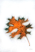 Oak Leaf in the Snow